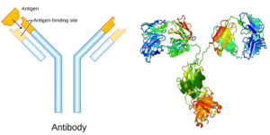 Antibodies are a type of protein that play a crucial role in the immune system. The image on the left (Wikimedia Commons) shows a schematic of an antibody and how its shape allows it to bind to a specific protein called an antigen. The image on the right (Protein Data Bank) shows the molecular structure of an antibody in more detail. By investigating a protein's structure, biophysicists can better understand how it functions in an organism.