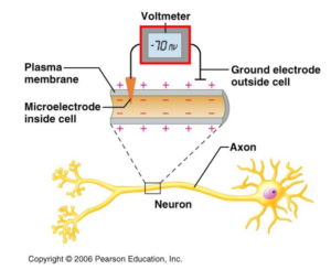 At rest, a human neuron has a charge difference, or voltage, of about -70 millivolts, meaning that the inside of the membrane is negatively charged compared to the outside. When these charges are briefly allowed to move freely, a small amount of electric current is generated.